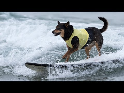 Meet The World's Gnarliest Surfing Dogs