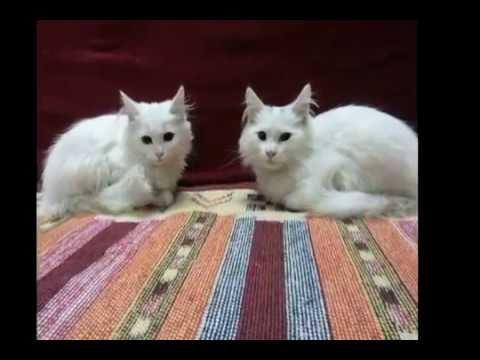 Must Cry Vet Killed My Turkish Angora Cat Youtube