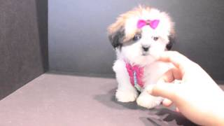 Teacup Shih Tzu Puppies For The Perfect Gift Near San Dfiego Ca By Puppyheaven.com