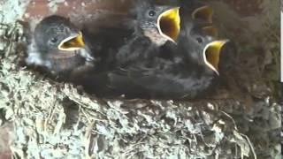 さらにヒナ達の鳴き声も大きくなり、巣に活気が戻りました。この動画を...