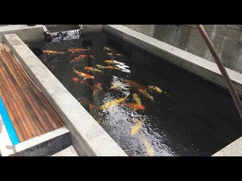 Ikan Koi Cepat Besar