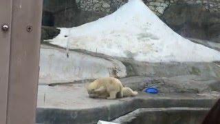 Белые медведи играют. (Слабонервным не смотреть)