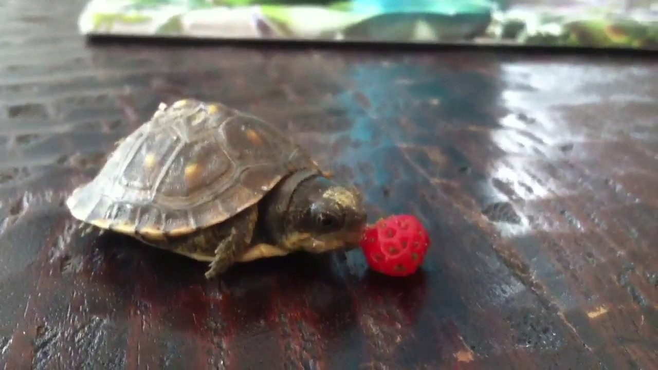 Cute tiny turtle throws up and eat strawberry youtube - Cute turtle pics ...
