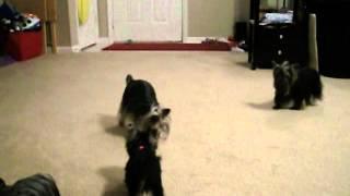 Priceless Yorkie Puppy Yorkies At Play
