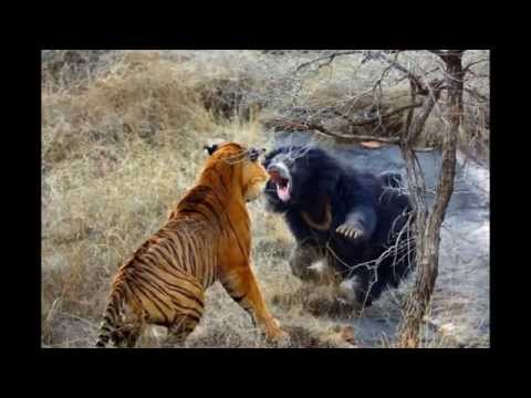 Медведица не дала в обиду медвежат