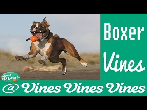 *NEW* The Best Boxer Dogs Vines Compilation Ever ! | BOXER ARE AMAZING !