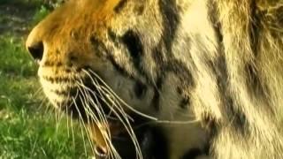 Рейтинг Баженова  Закон природы  Маугли  Тигр   очень умное животное