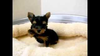 犬種:ヨークシャーテリア/URL:http://nipponpet.co.jp/カラー:スチ...