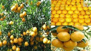 วิธีการปลูกส้มให้ได้ผลลิตดี!!!สร้างรายได้เดือนละ 1 แสนบาท