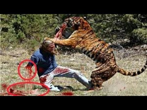 tiger attacks easily using its striped skin camouflage army