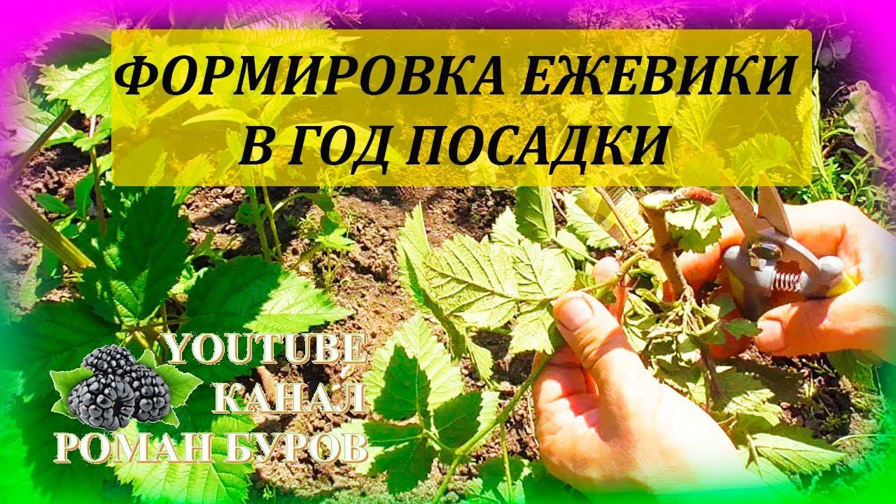 Формировка и уход за саженцем ЕЖЕВИКИ в год посадки. Как выращивать ежевику. Выращивание ежевики.