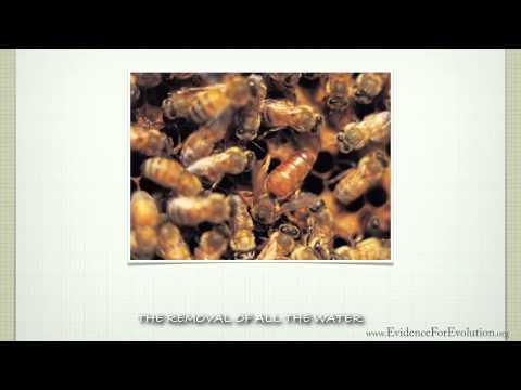 Honey Bee - Evidence for Evolution.org