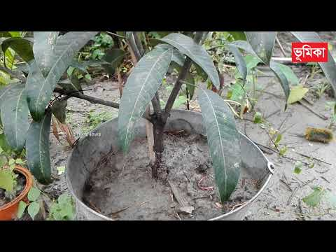 Mango tree grafting and bonsai at home | Mango bonsai tree making techniques