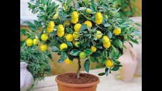 Пересадка лимона в домашних условиях(Посадил косточки лимона, апельсина выросло деревце. Пересаживаю его 2 раз., 2016-01-22T14:57:47.000Z)