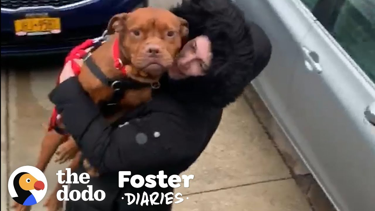 There's Never Been a Better Time to Foster a Pittie | The Dodo Foster Diaries