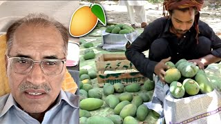 THIS IS HOW A MANGO FARM LOOKS LIKE IN PAKISTAN!