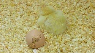 Newborn Chick | Museo de las Ciencias Príncipe Felipe