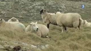La foire aux moutons de Ouessant