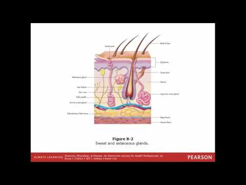 Integumentary System: The Protective Covering