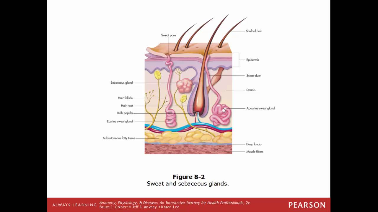 Integumentary System: The Protective Covering - YouTube