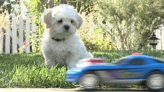 Shichon Puppy Can't Drive, Crashes