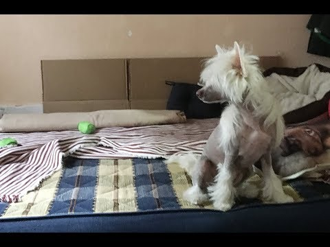 How well can my Chinese Crested Dog hear?
