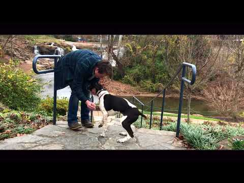 5 Mo old German Short Hair Pointer, Lillie   Amazing Off Leash Obedience   Best Dog Trainers
