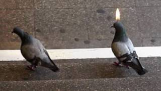 Advent, Advent, die Taube brennt!