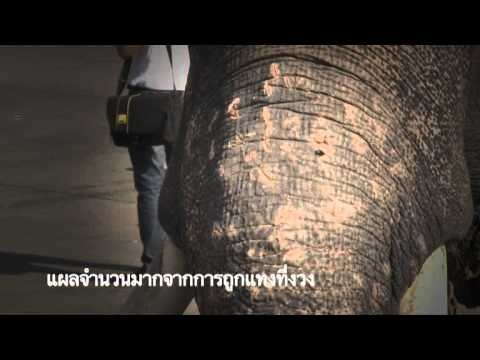 Elephants and tourism (AAA video) Thai version