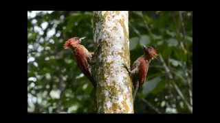 Banded Woodpecker territorial conflict