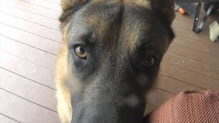 Vlog: Most Spoiled German Shepherd Puppy Ever (gsd)
