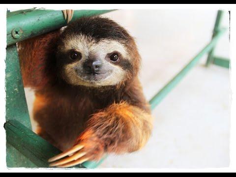 Как размножаются ленивцы видео