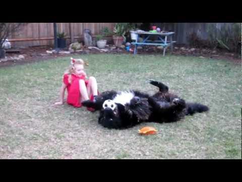 5 Year Old Girl Steer Wrestling Newfoundland Dog