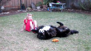 5 Year Old Girl Steer Wrestling Newfoundland Dog