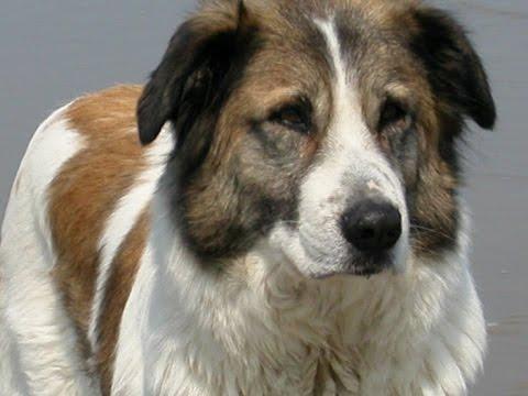 perro de montaña del atlas (aïdi) - Raza de Perro