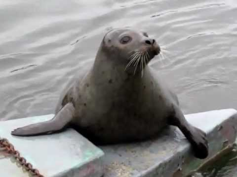 WOW!  Wild Common Seal gets close and shows off!