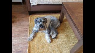 Standard Schnauzer likes the new rug!