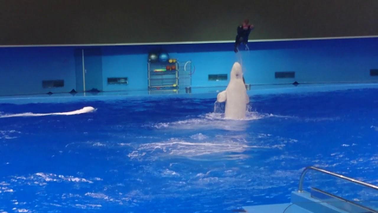 Xiếc cá heo trắng- aquarium Vladivostok 2017