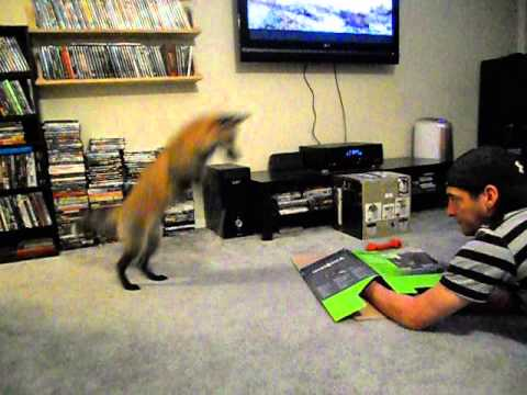 Loki the red fox pouncing on a box