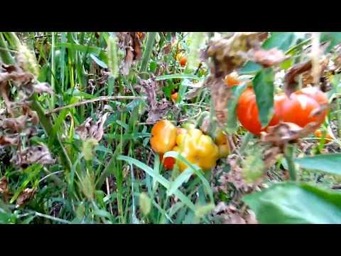 Выращивание томатов в плотной посадке и обзор сортов в окрытом грунте