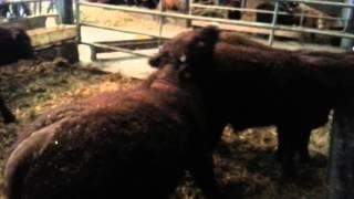 Forez calves - Élevage Salers - Earl Croix Mahieu