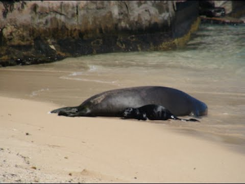 Hawaiian Monk Seal Baby July 3, 2017