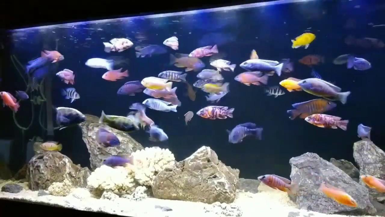 Ikan Siklid