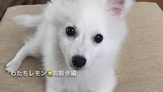 日本スピッツ レモン <河川敷お散歩> Lemon,Japanese Spitz お散歩動...