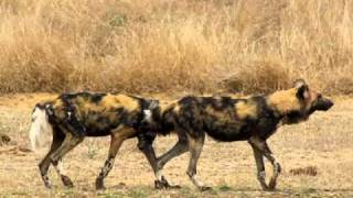 MalaMala - Wild Dogs mating
