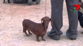 Dachshund Is A Short Legged, Long Bodied Dog Breed Belonging To The Hound Family