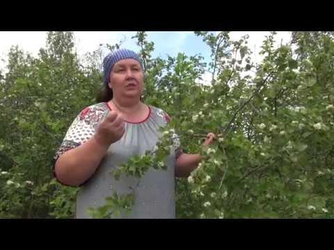 Цветы боярышника полезные свойства и применение