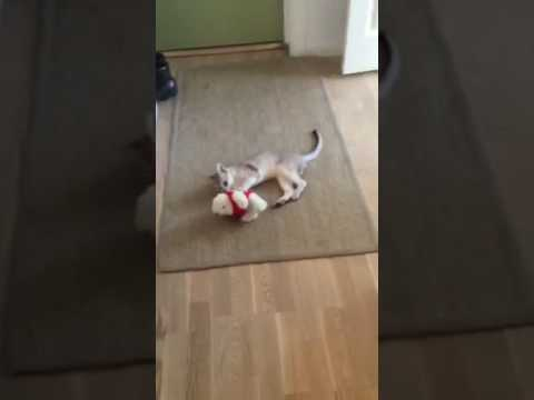 Kitten loves his teddy.