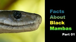 Facts About Black Mambas 01