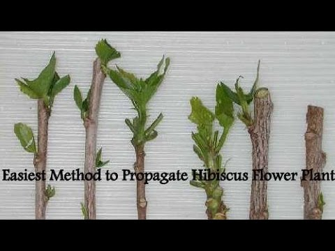 Easiest Method To Propagate Hibiscus Flower Plant Youtube